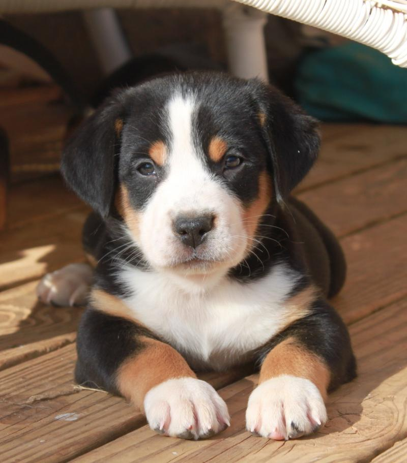 Rescue Site For Bernese Mountain Dogs